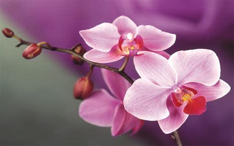 pink orchid flowers  wallpaperscom