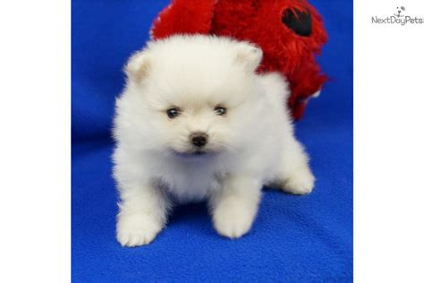 teacup pomeranian puppies for sale in missouri pomeranian puppy for sale near springfield missouri d48f1743 78b1