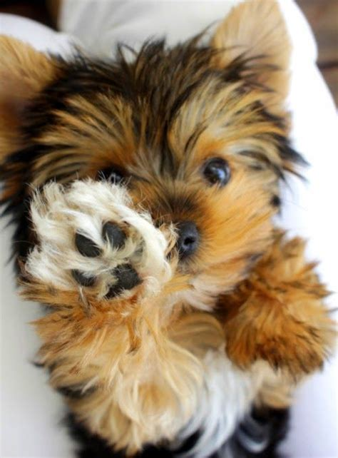 are teacup yorkies hypoallergenic top 10 best hypoallergenic breeds sweet things yorkies