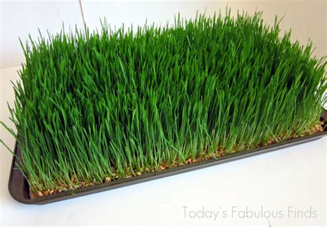 Grass Paper - today s fabulous finds wheat grass centerpieces grown on