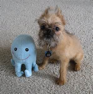 Brussels griffon puppy pictures page 9