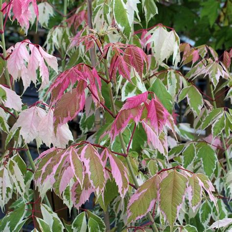 mail order tree acer flamingo maple tree mail order trees