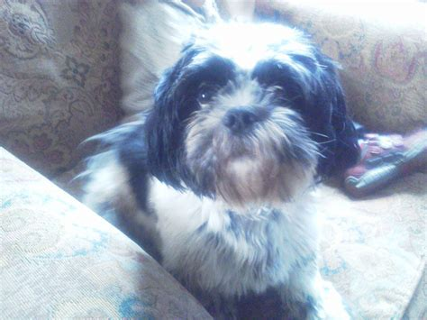 how is the oldest shih tzu 12 month shih tzu for sale leominster herefordshire pets4homes