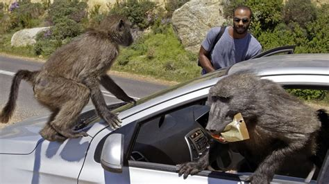 baboons attack cape of baboon wars south africa