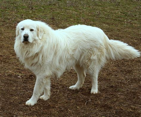 great pyrenees short hair great pyrenees guardian dog my guardian dog mccomb he