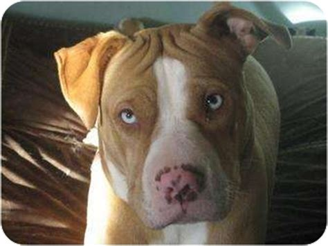 shar pei pitbull mix puppies staffordshire bull terrier and shar pei mix breeds picture