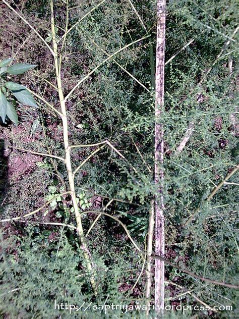 Anuma Artemisia Annua Penanaman Dan Manfaat Tanaman Obat Di Kp Cicurug