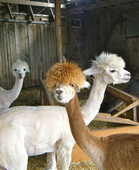 free photo llamas animals farm shed mammal free