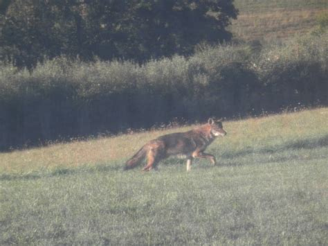 Coyote In Backyard by 2011 Coyotes In Nj