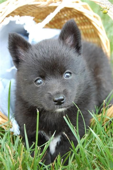 how big do pomsky puppies get 1000 ideas about pomsky puppies for sale on pomsky for sale pomsky