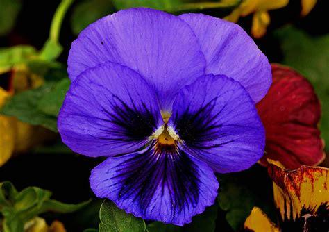 Flowers Violet violet flower 1 painting by johnson moya