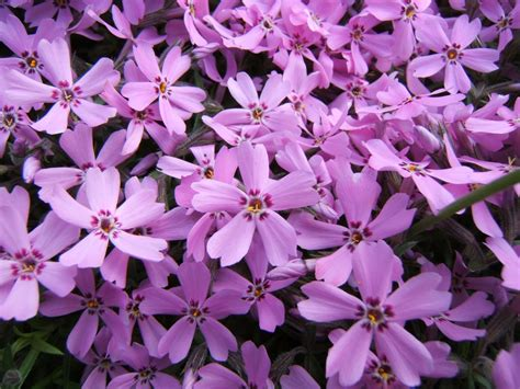 flowers for flower lovers phlox flowers