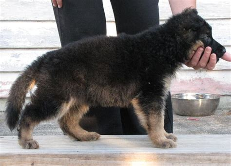 how much to feed 8 week puppy 8 week german shepherd for sale dogs in our photo