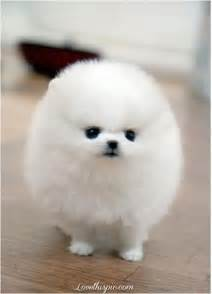 White Fluffy Fluffy White Pomeranian Pictures Photos And Images For