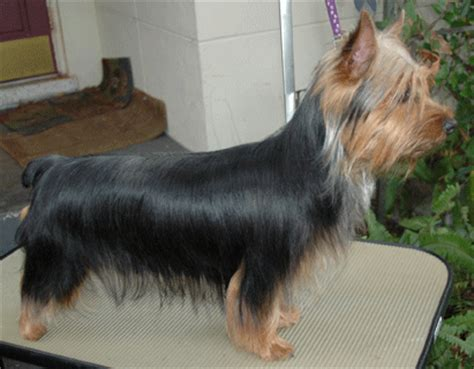 pictures of haircuts for silky terriers silky terrier haircuts 7170 homeup