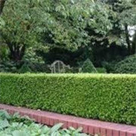 siepi da giardino costi piante da siepe prezzi siepi costi piante da siepe