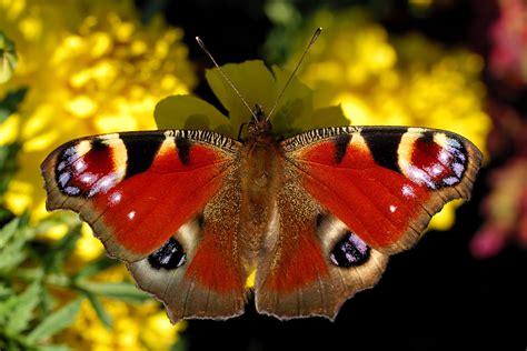 imagenes de mariposas national geographic mariposas national geographic nuevo concurso el rojo en la