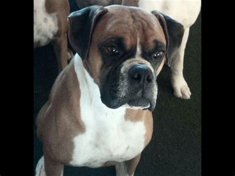 boxador puppies for sale near me boxer puppies for sale