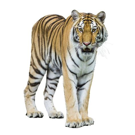 tiger denmark danish word of the day tiger noun