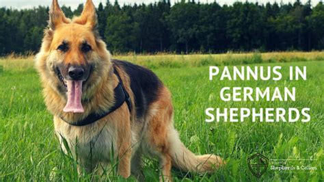 pannus in dogs pannus eye disease in dogs hairsstyles co