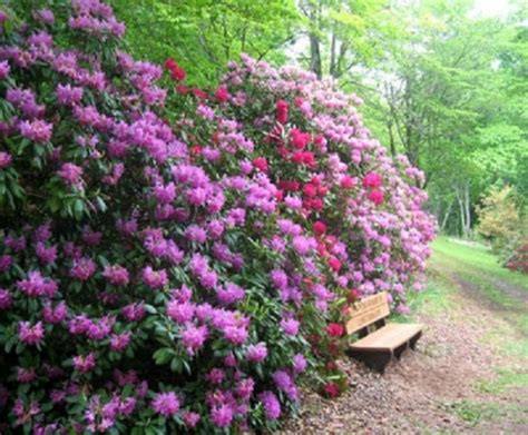 rhododendron garten hamilton rhododendron garden hiawassee