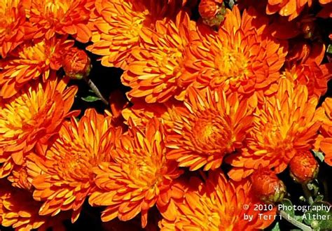 orange mums fall flowers orange and gray wedding flowers pintere
