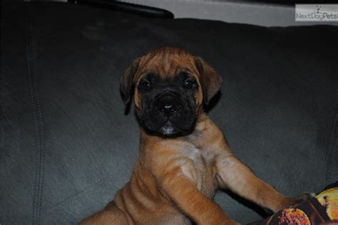 corso puppies for sale in ny pin corso mastiff puppies for sale in ny on