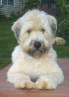 akcwheaton cut the whoodle wheaten terrier and standard poodle cross