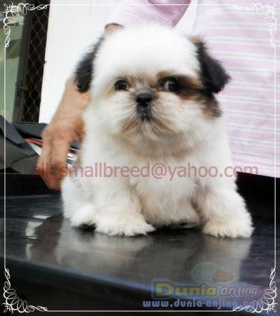 Flat Kumis Putih dunia anjing jual anjing shih tzu dijual anakan