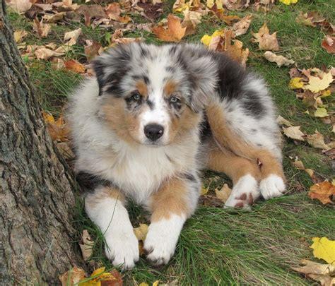 aussie puppies faithwalk aussies available puppies