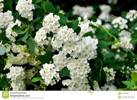 cespugli fiori bianchi cespuglio di fioritura con i fiori bianchi fotografia