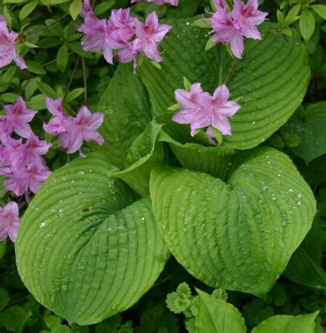 hosta garden greenville sc giant hostas large hosta plants