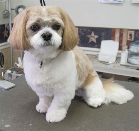 shih tzu haircuts before and after photos image gallery shih poo grooming