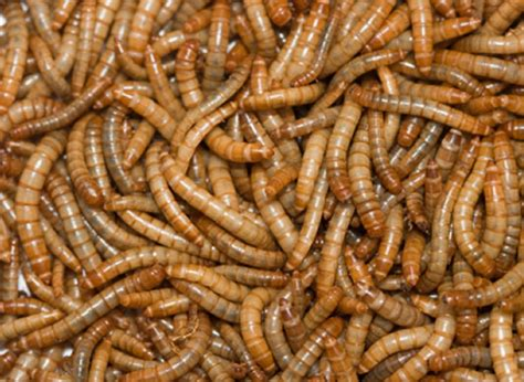 buy mealworms online mealworms livefoods