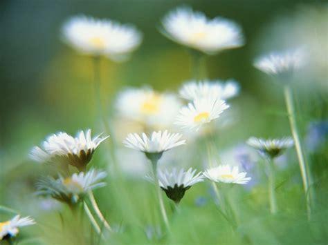 imagenes de rosas blancas hermosas imagui image gallery hermosas flores blancas