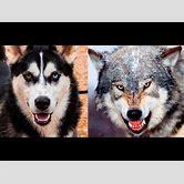 alaskan-malamute-and-wolf