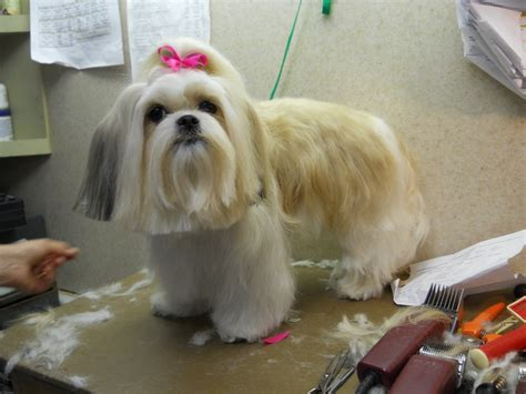 shih tzu ears how to groom westie images newhairstylesformen2014