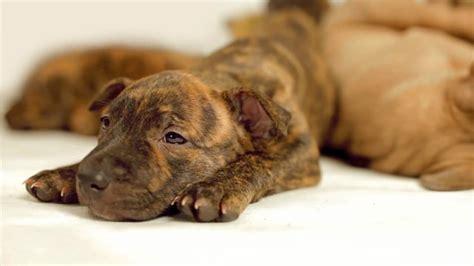 cutest pitbull puppies cutest pitbull puppies on vimeo