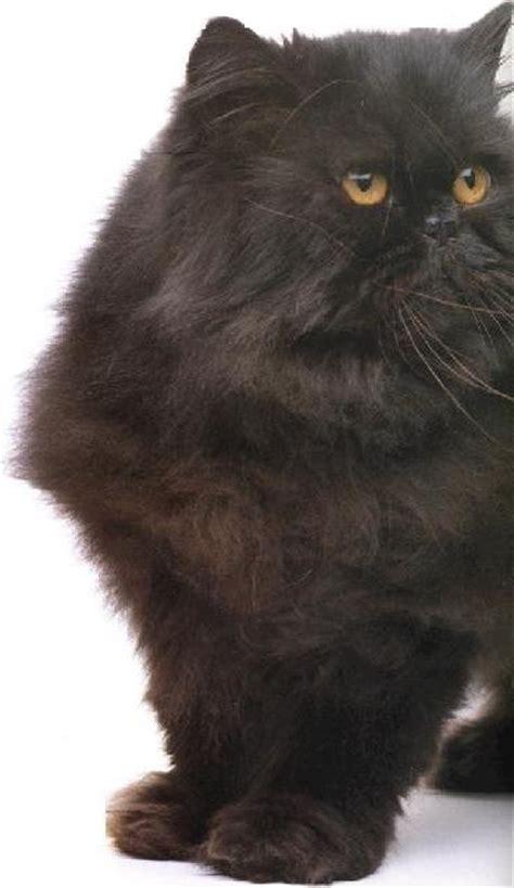 gatti persiani neri persiano nero diario di una quasi veterinaria