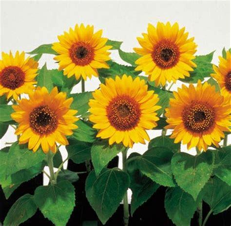 jual biji benih bunga matahari sunsmile  lapak green