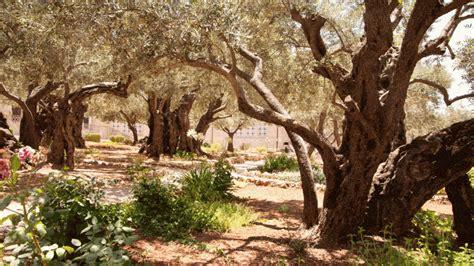 der garten gethsemane jerusalem die top 5 interessanten orte tui reiseblog
