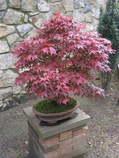 file acer palmatum bonsai jpg