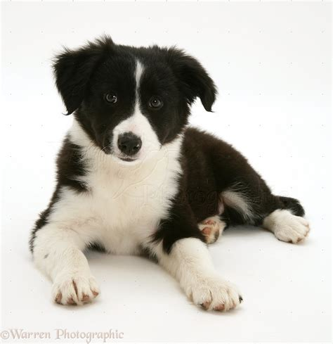 black and white border collie puppy black and white border collie pup lying with up photo wp17481