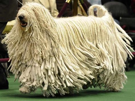 haired dogs 10 haired breeds
