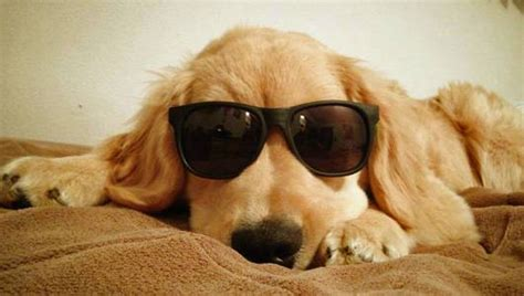 golden retriever with sunglasses meet charles a blind puppy with style mnn nature network