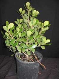 clusia rosea nana dwarf pitch apple