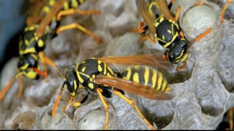 how to get rid of wasps in house siding how to get rid of wasps how to instructions