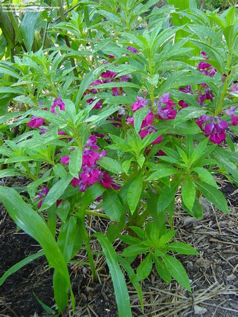 Garden Balsam by Plantfiles Pictures Balsam Touch Me Not Impatiens