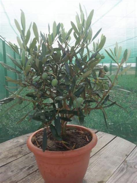 ulivo in vaso prezzo piante di ulivo prezzi olea europaea bonsai