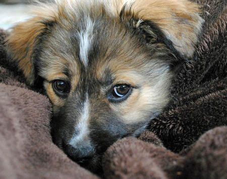 pomeranian german shepherd mix puppies australian shepherd chow chow german shepherd mix puppy pups